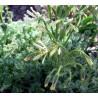Pelargonium appendiculatum