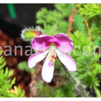 Pelargonium hirtum