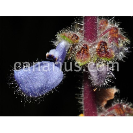 Plectranthus sp. Galgallo