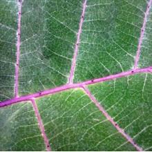 Solanum quitoense - Lulo