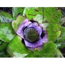 Neoregelia concentrica Purple Center