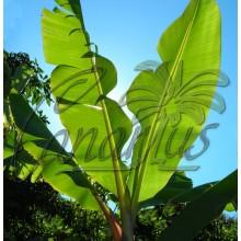 Musa cv. Dwarf Cavendish - Platanera, Banana