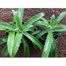 Bromelia karatas - Piñuela