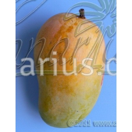 Mangifera indica cv. ' Ataulfo '