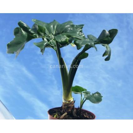 hilodendron bipinnatifidum 'Atom'