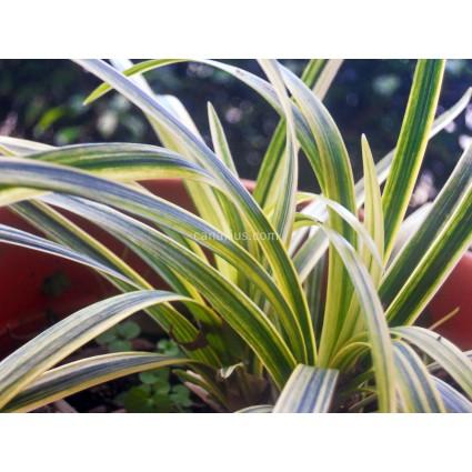 Ophiopogon japonicus 'Shiroshima Ryu'