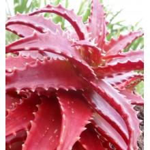 Aloe dorotheae - Large