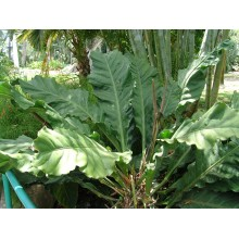 Anthurium crassinervium