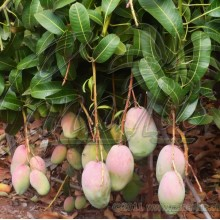 Mangifera indica cv. ' Valencia pride '
