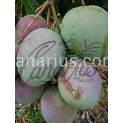 Mangifera indica cv. ' Lippens '