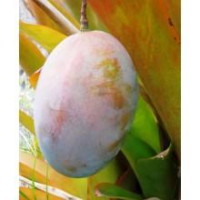 Mangifera indica cv. ' Keitt '