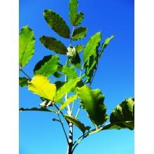 Kigelia africana - Sausage Tree