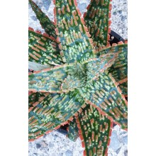 Aloe x 'Christmas Carol'