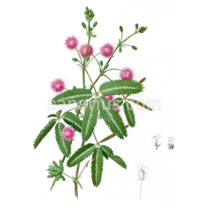 Mimosa pudica - Sensitive Plant