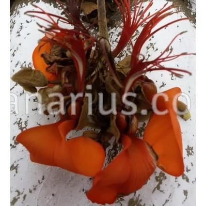 Erythrina velutina - Mulungu