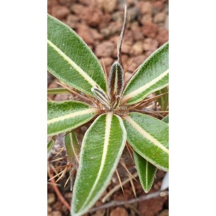Pachypodium rosulatum  var. gracilius - 3 years branched