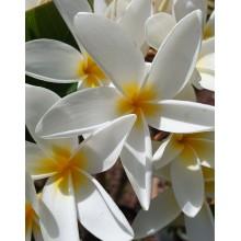 Plumeria rubra 'Wild Drooping'