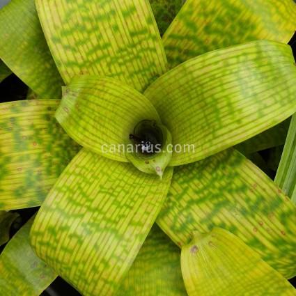 Vriesea fenestralis