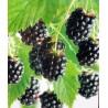 Rubus fruticosus 'Thornfree' - Blackberry