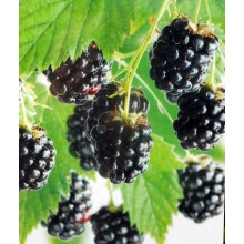 Rubus fruticosus 'Triple Crown' - Blackberry