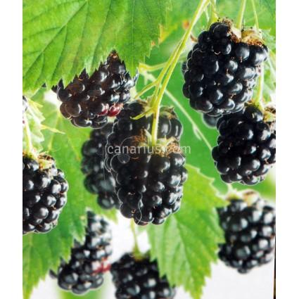 Rubus fruticosus 'Hymalaya' - Blackberry