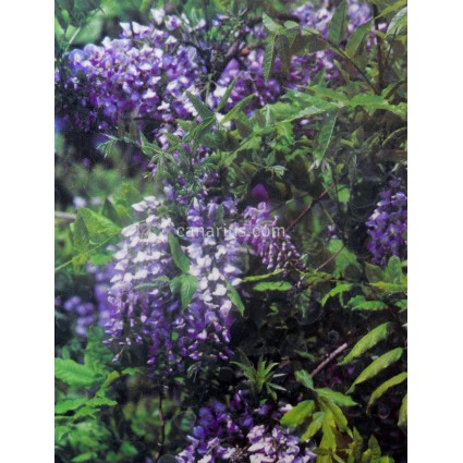 Wisteria sinensis 'Prolifica'