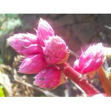 Hohenbergia rosea