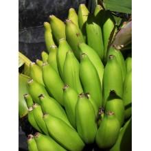 Musa 'Rajapuri' -  Dwarf Banana