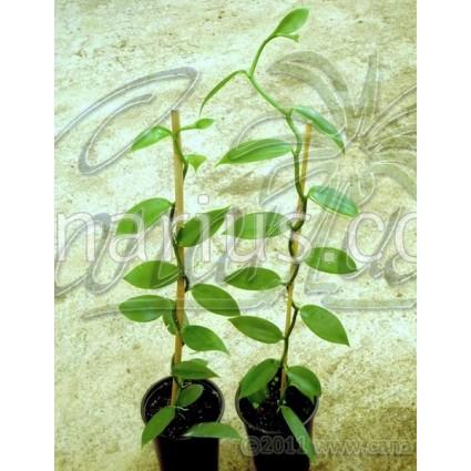 Vanilla planifolia - True Vanilla Orchid