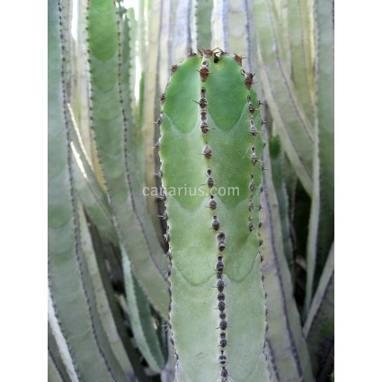 Euphorbia canariensis - Large