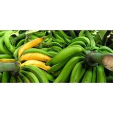 Musa 'Curare Enano' - Dwarf Cooking Plantain