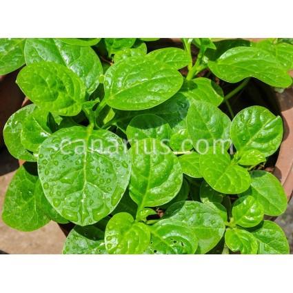 Basella alba - Malabar Spinach