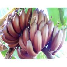 Musa 'Red Dacca' - Tall Red Banana