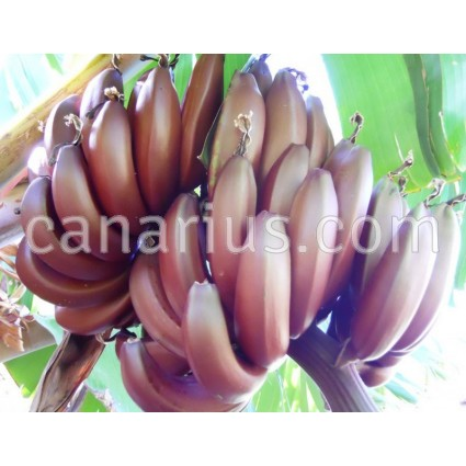 Musa 'Red Dacca' - Tall Red Banana