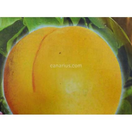 Prunus armeniaca 'Moniqui'