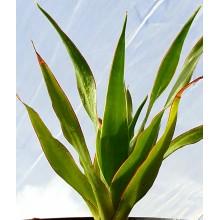 Dracaena draco ssp. caboverdeana