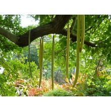 Parmentiera cereifera - Candle Tree