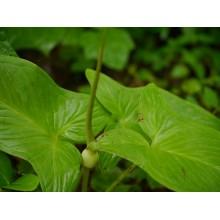 Typhonium roxbourghiii