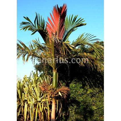 Chambeyronia macrocarpa - Palmera de hoja roja