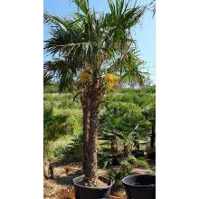 Trachycarpus latisectus- ADULT 195cm