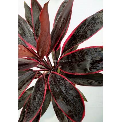 Cordyline fruticosa 'Tango'