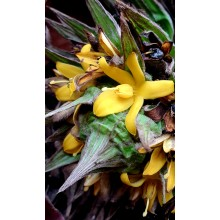 Molineria capitulata - Palm Grass