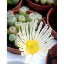 Fenestraria rhopalophylla-white