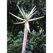 Aloidendron dichotomum - RSA
