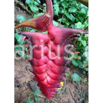 Heliconia mariae