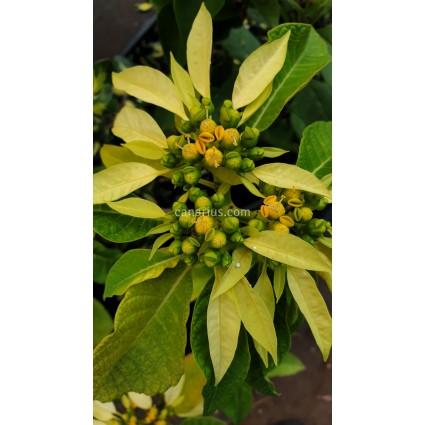 Euphorbia pulcherrima 'Tall Wild Type' YELLOW