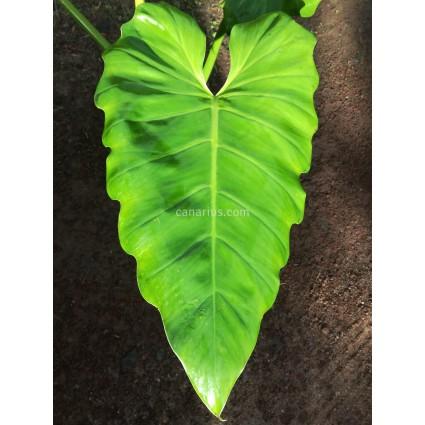 Philodendron subincisum