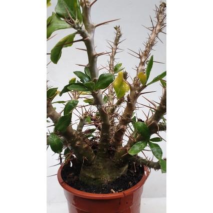 Pachypodium saundersii - Large