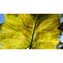 Philodendron x Corsinianum