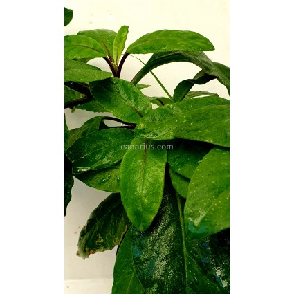 Gynura procumbens - Longevity Spinach